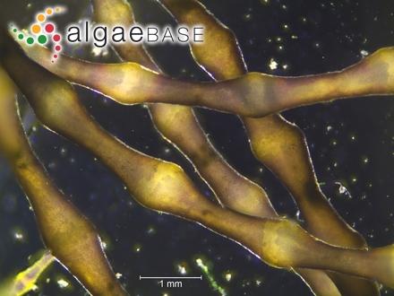 Amphiroa radiata (Lamarck) Blainville
