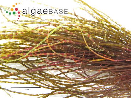 Polycavernosa tsudae I.A.Abbot & I.Meneses