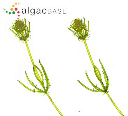 Sargassum guardiense Setchell & N.L.Gardner
