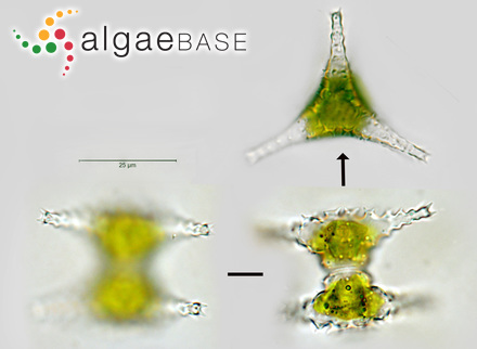 Ahnfeltiopsis masudae B.-M.Xia & Y.-Q.Zhang