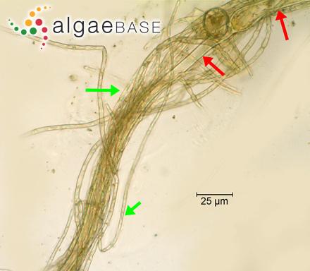 Meristiella florigera Kuang & Xia