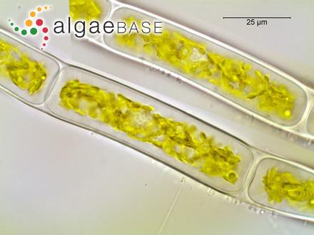 Proselachista taeniiformis (Yamada) Y.-P.Lee & Garbary