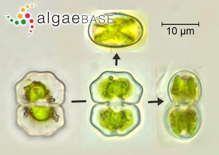 Sargassum weizhounse C.K.Tseng & Lu Baroen