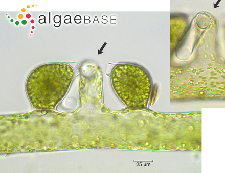 Ctenophora pulchella (Ralfs ex Kützing) D.M.Williams & Round