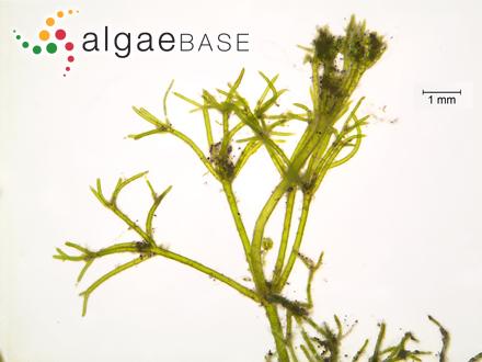 Pinnularia subgibba Krammer