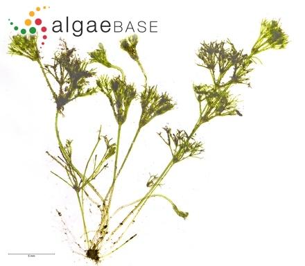 Pinnularia tabellaria Ehrenberg