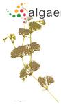 Nitella tenuissima (Desvaux) Kützing