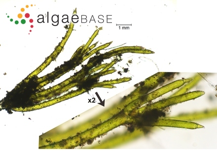 Pinnularia viridiformis Krammer