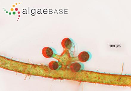 Laminaria agarum (S.G.Gmelin) C.Agardh