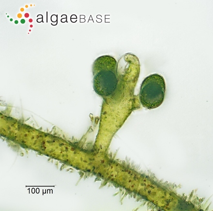 Hymenocladia ceratoclada J.Agardh