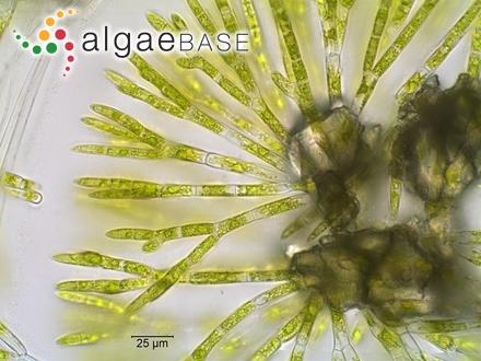 Chaetophora pisiformis (Roth) C.Agardh