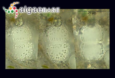 Sarcothalia insidiosa (J.Agardh) Edyvane & Womersley