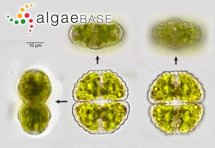 Polysiphonia figariana Zanardini