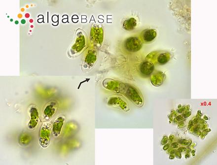 Chondria obtusa var. paniculata Martens