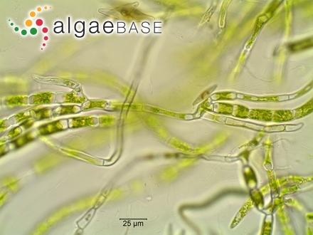 Lithophyllum hapalidioides var. confinis (P.Crouan & H.Crouan) Me.Lemoine