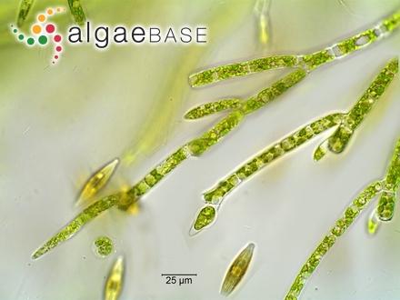 Dermatolithon macrocarpum f. intermedium (Foslie) Foslie ex De Toni