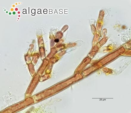 Laminaria saccharina f. sublaevis (Kjellman) Kylin