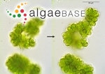 Botryococcus protuberans West & G.S.West
