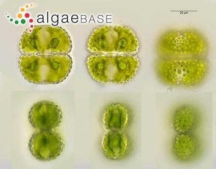 Laminaria caperata var. lanceolata J.Agardh