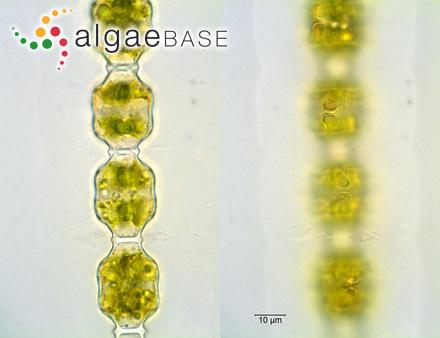 Laminaria nigripes var. fissilis (J.Agardh) Rosenvinge