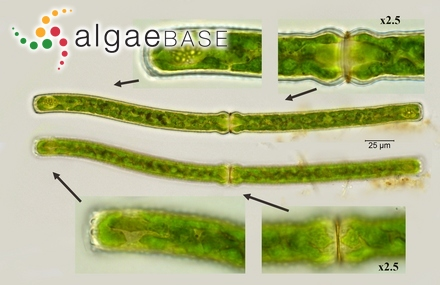 Phyllaria dermatodea f. lanceolata Foslie