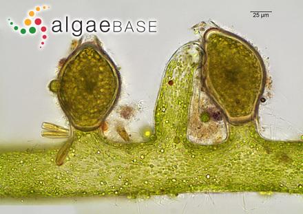 Myriocladia callitricha Rosenvinge