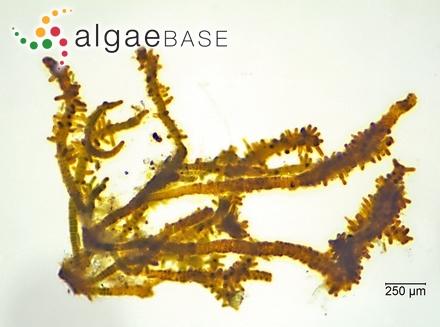 Entophysalis lemaniae (C.Agardh) Drouet & Daily