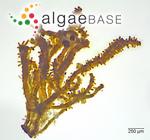 Stigonema mamillosum C.Agardh ex Bornet & Flahault