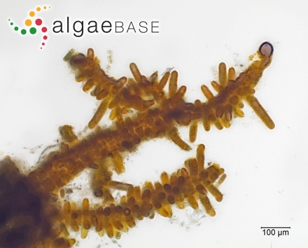 Antithamnion compactum (Grunow) Schiffner
