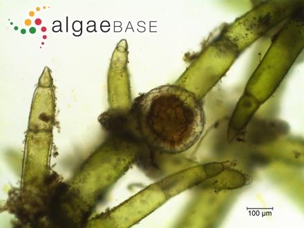 Cylindrospermum majus Kützing ex Bornet & Flahault