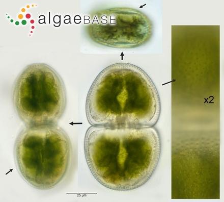Dermocarpa olivacea (Reinsch) Tilden