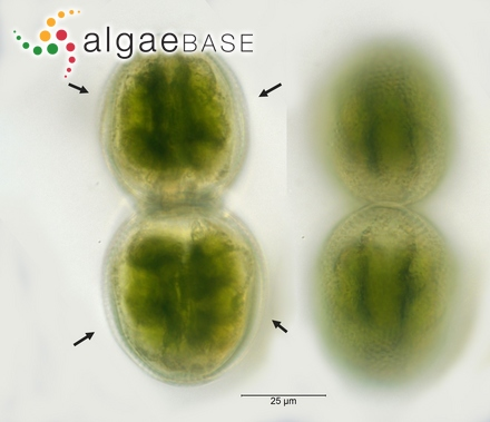 Dermocarpa olivacea var. gigantea C.B.Rao