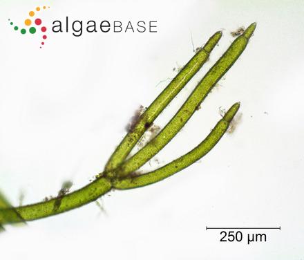 Hyella balani Lehmann