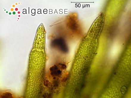 Hyella tenuior Ercegovic