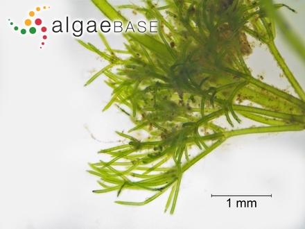 Hyella stella Al-Thukair & Golubic