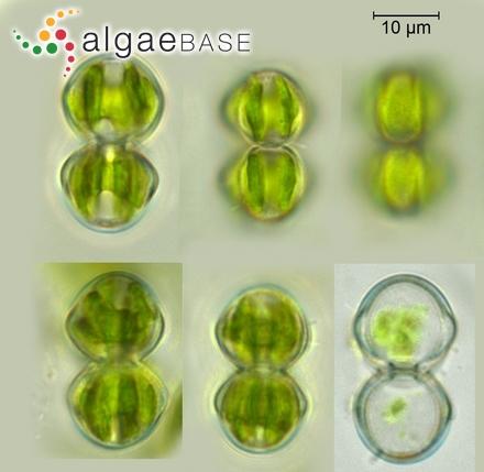 Lyngbya penicillata (Gomont) Hoffmann