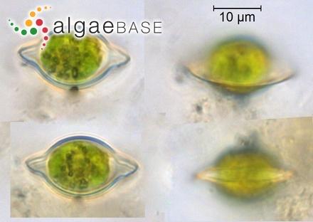 Oscillatoria limosa C.Agardh ex Gomont