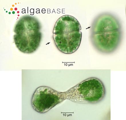 Cavinula pseudoscutiformis (Hustedt) D.G.Mann & Stickle