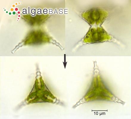 Cocconeis placentula Ehrenberg