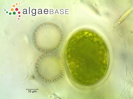 Epithemia gibberula var. perpusilla Playfair