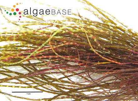 Sargassum cylindrocarpum Setchell & N.L.Gardner