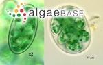 Glaucocystis nostochinearum Itzigsohn