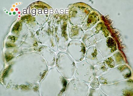 Gigartina flagelliformis (Sonder) Sonder