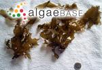 Spatoglossum solieri (Chauvin ex Montagne) Kützing