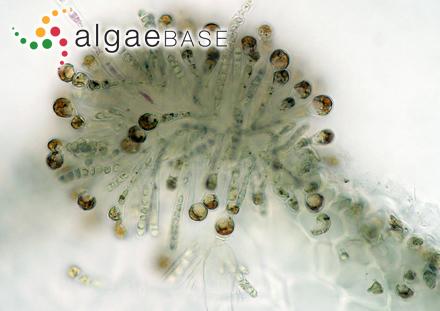 Symphyocladia latissima Yendo