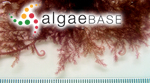 Asparagopsis hamifera (Hariot) Okamura