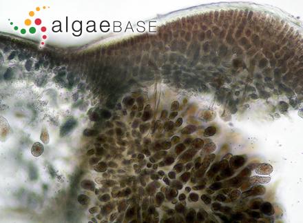 Fucus aeruginosus var. lichenoides Turner