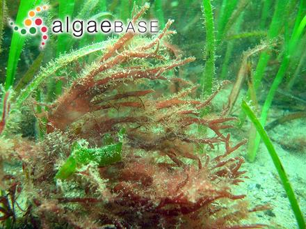 Corallopsis cacalia J.Agardh