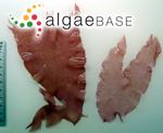 Halarachnion ligulatum (Woodward) Kützing