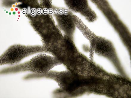 Calliblepharis prolifera (Harvey) J.Agardh